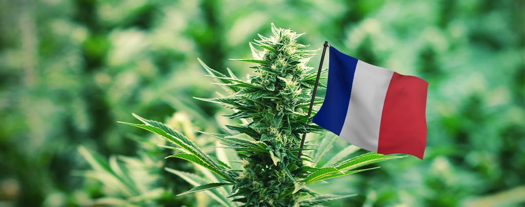 Meilleures Variétés de Cannabis En France