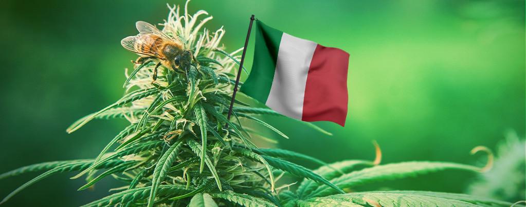 Meilleures graines de cannabis Italie