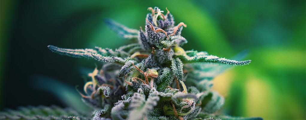 Variétés De Cannabis Pour La Douleur