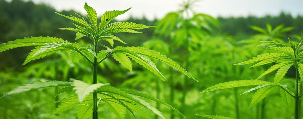Extérieur Cannabis