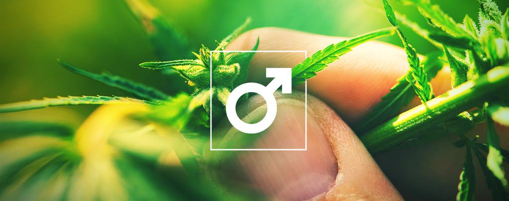 Plants De Cannabis Mâle Hashish