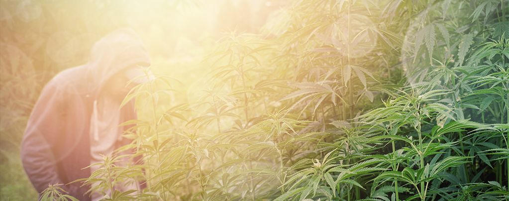 Variétés De Cannabis Pour la Culture En Guérilla