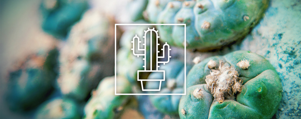 Cactus à Mescalines