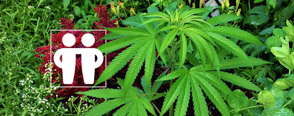 Soigner Et Protéger Vos Récoltes De Cannabis