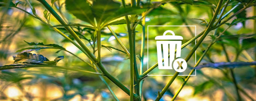 Tiges De Cannabis