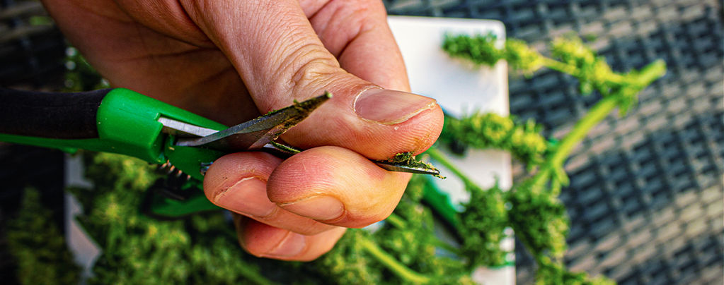Ciseaux De Taille Du Cannabis Propres