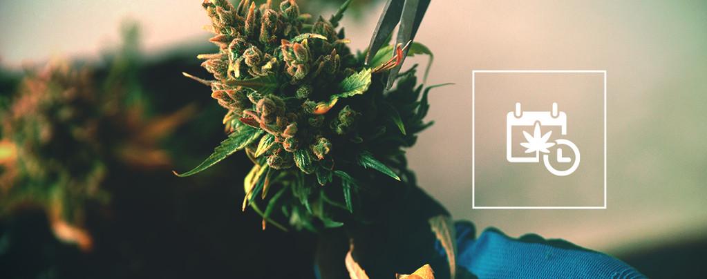 Récolter Cannabis