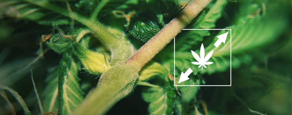 Réduire L'étirement De Weed