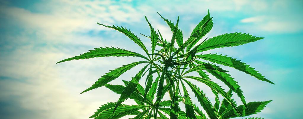 Cannabis Climat Chaud