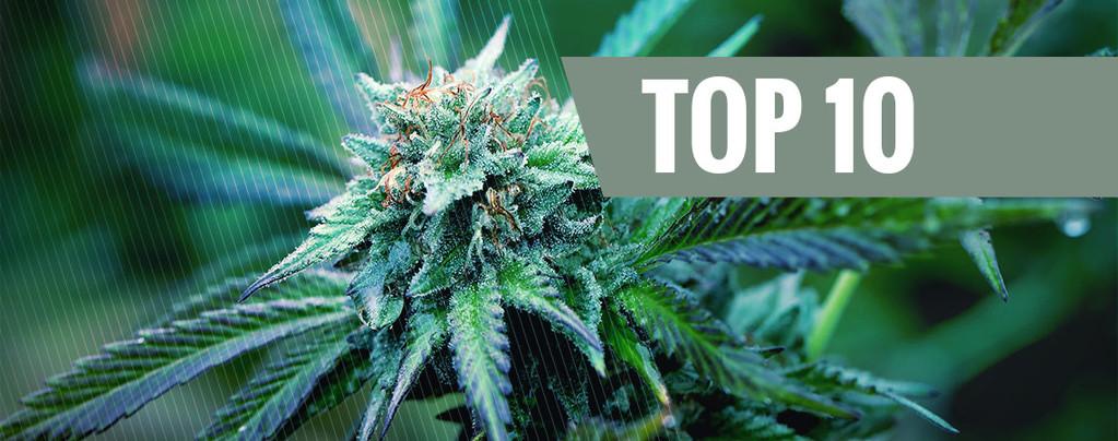 Meilleures Variétés De Cannabis Médical
