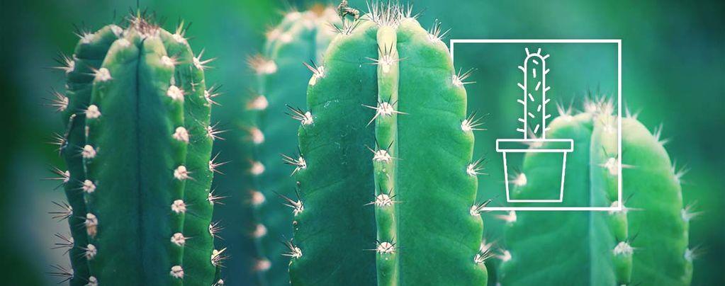 Pousser Un Cactus San Pedro