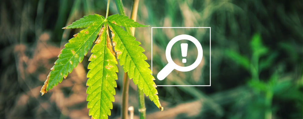 Problèmes Floraison Du Cannabis