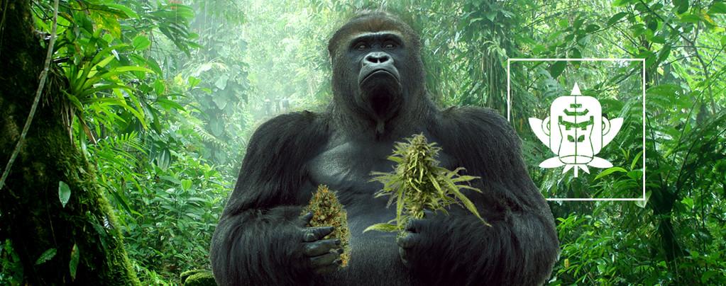 Variétés De Cannabis Gorilla Glue