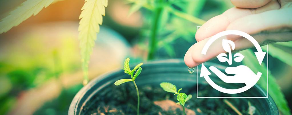 Étapes De La Culture Du Cannabis