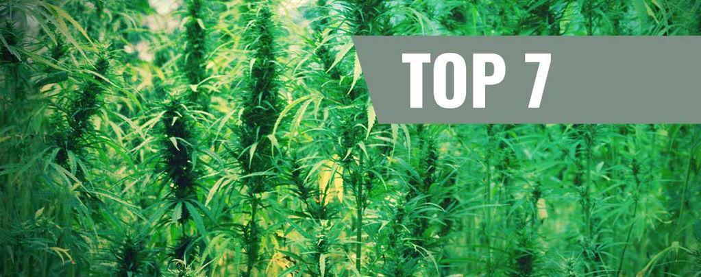 Variétés De Cannabis Et Leurs Créateurs