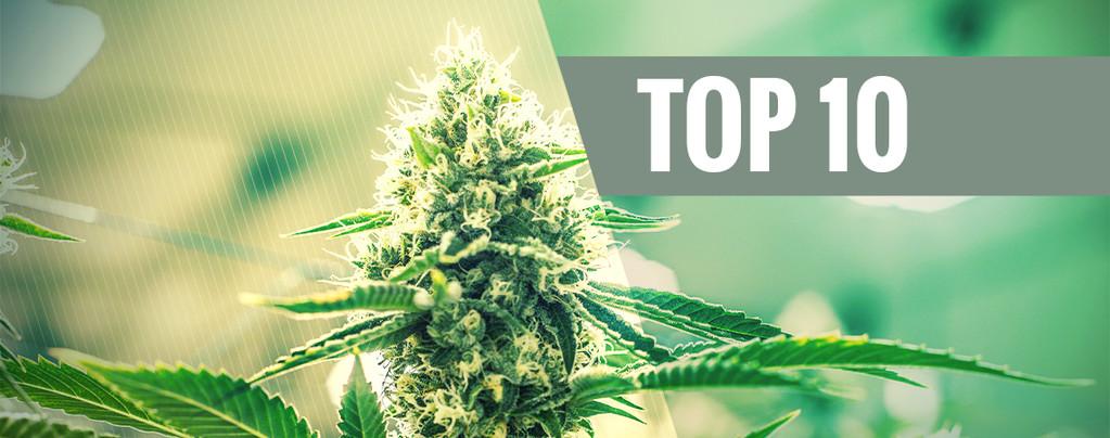 Variétés De Cannabis Kush