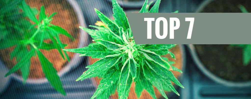 Cannabis Avec Un Ratio THC:CBD Unique
