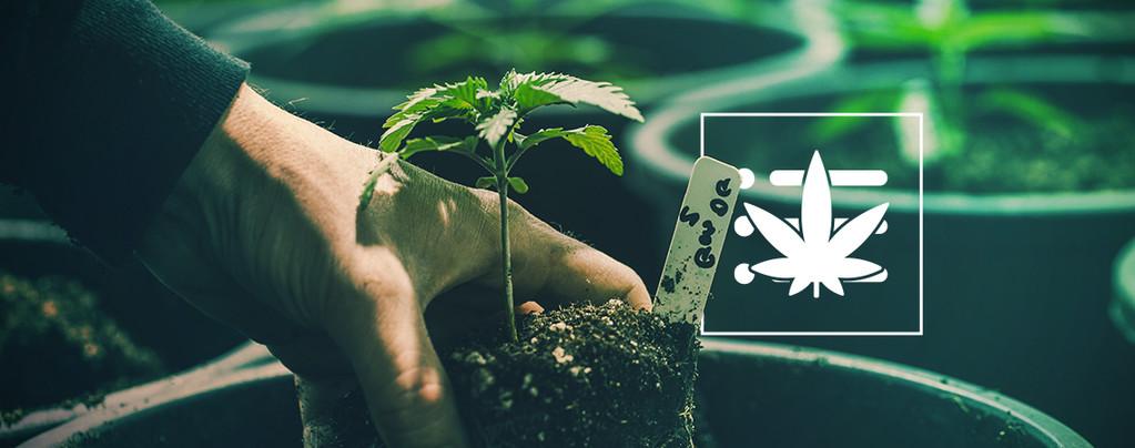 Votre Premier Plant De Cannabis