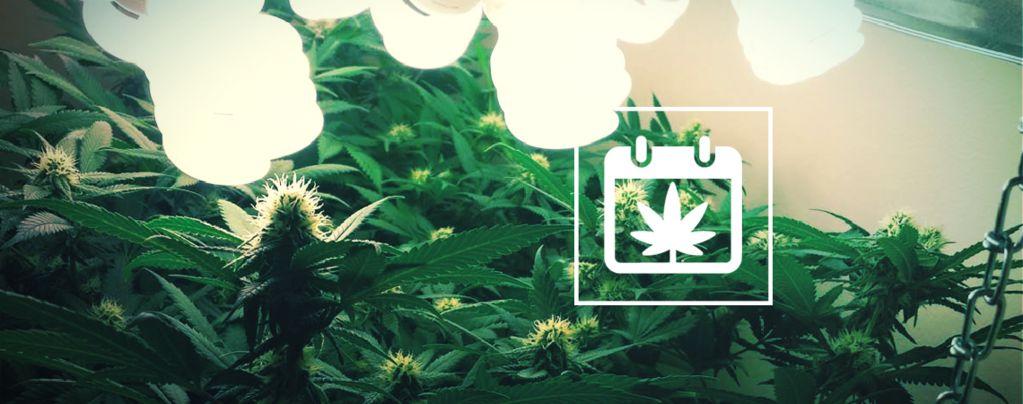 Plusieurs Cultures De Cannabis