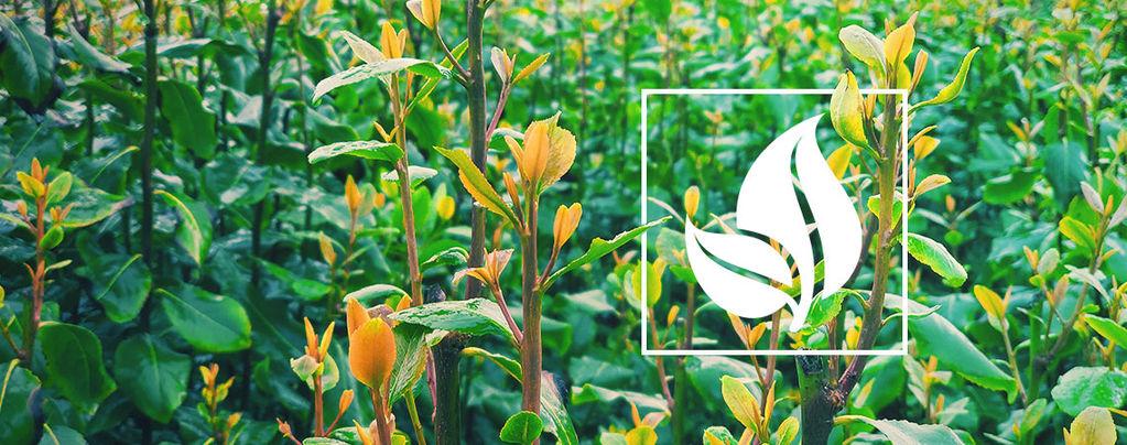 Khat (Catha edulis) 10 graines