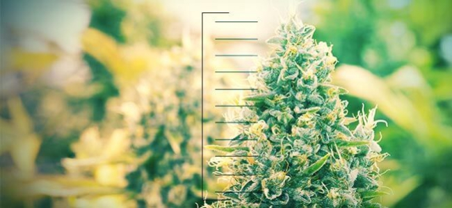 Top 10 Des Plants De Cannabis Compacts