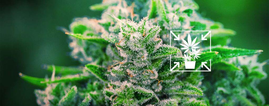 Comment Cultiver Des Petits Plants Compacts De Cannabis