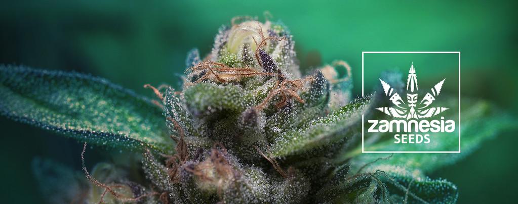 Auto Purple CousKush (Zamnesia Seeds) Féminisée