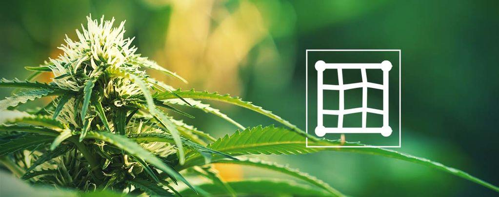 Récolter Le Cannabis Avec La Technique ScrOG