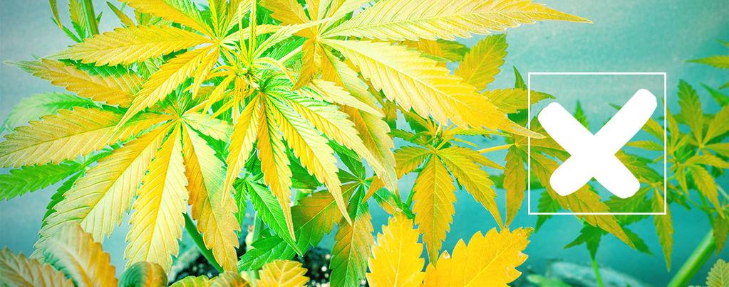 Feuilles De Cannabis Jaunes