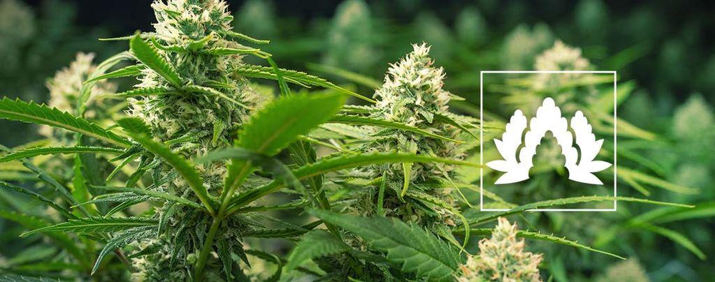 Meilleures Variétés De Cannabis En Culture Sea Of Green