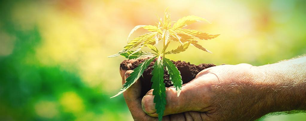 Ce Qu'Il Faut Savoir Avant De Cultiver Du Cannabis