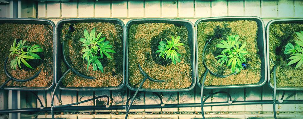 5 Façons D'augmenter Les Rendements Du Cannabis