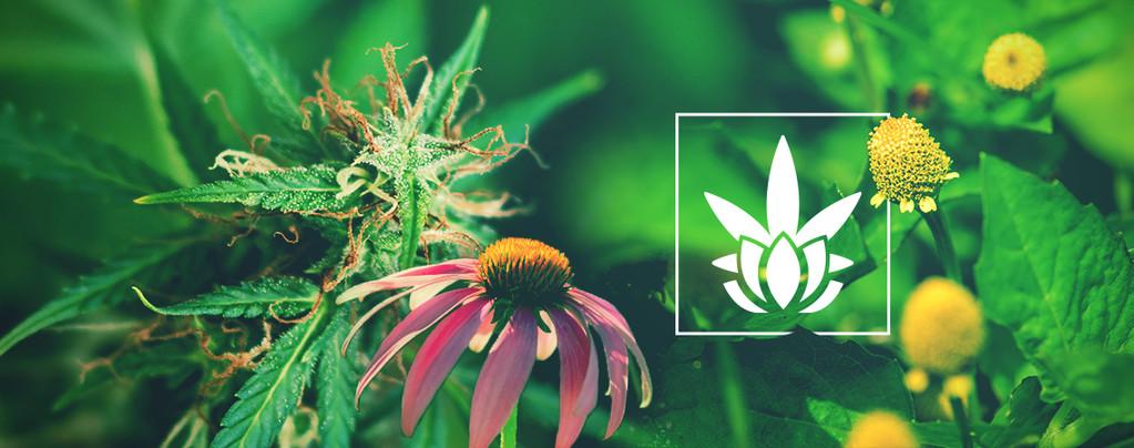 Des Plantes Alternatives Contenant Cannabinoïdes