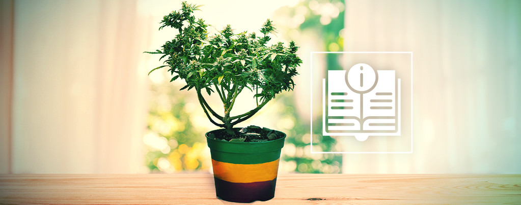 Tout Ce Qu'Il Faut Savoir Sur Les Bonsaïs De Cannabis