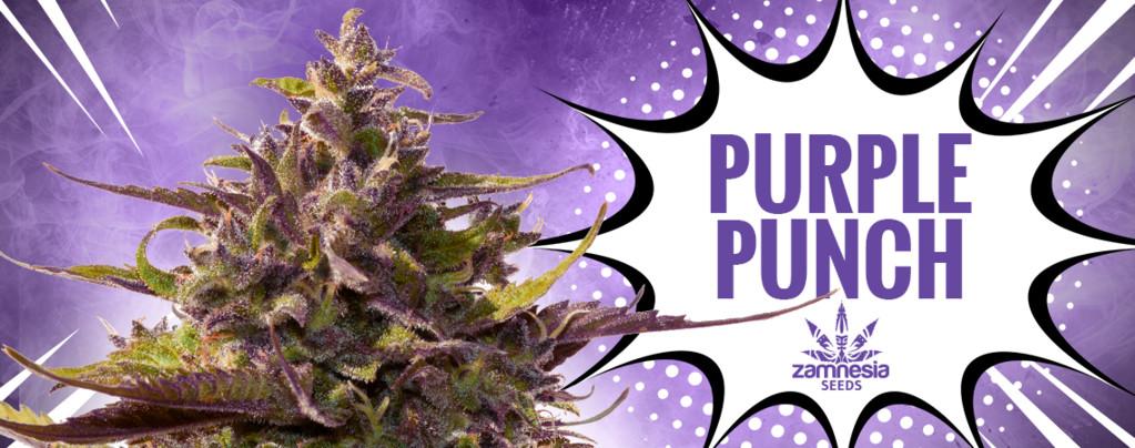 Purple Punch (Zamnesia Seeds) féminisée