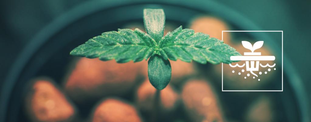 5 Variétés De Cannabis Parfaites Pour L'Hydroponie En Eau Profonde