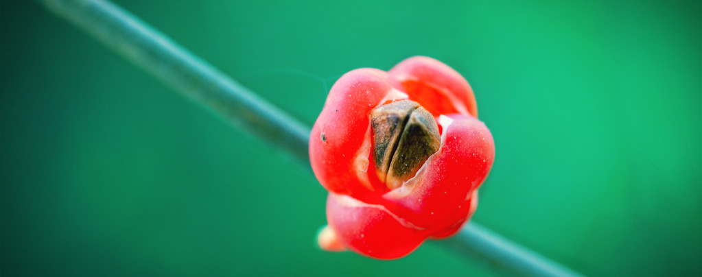 Ma Huang (Ephedra sinica) 20 graines