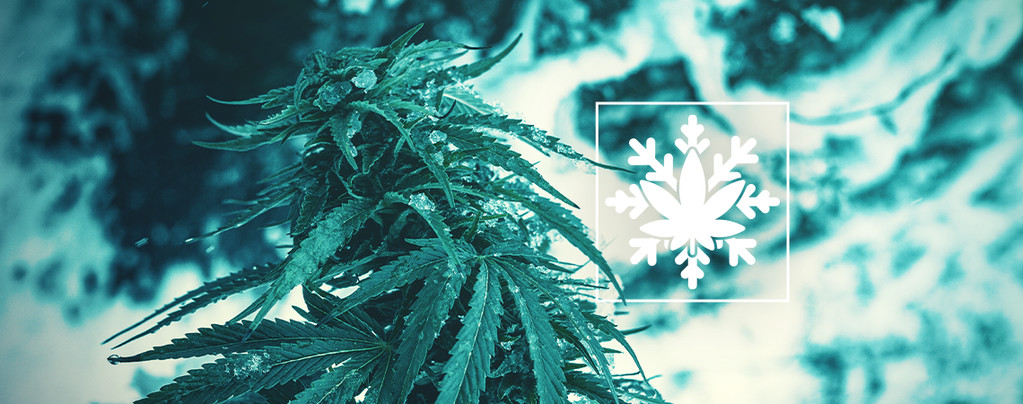 Comment Cultiver Du Cannabis En Hiver