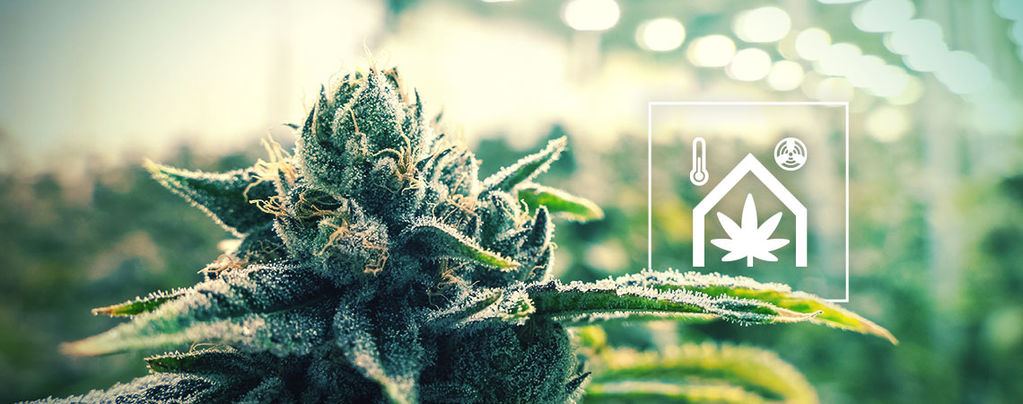 Faciliter L'Entretien De Votre Culture De Cannabis