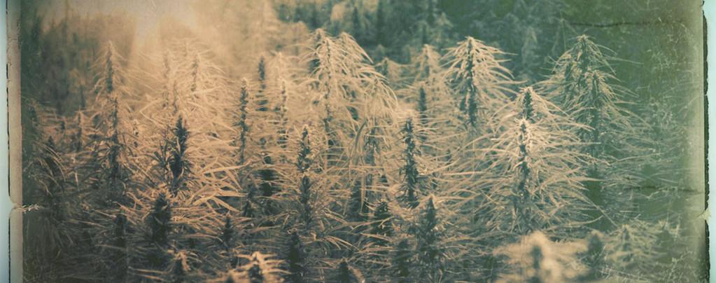 Que sont les variétés de cannabis Landrace et Heirloom ?