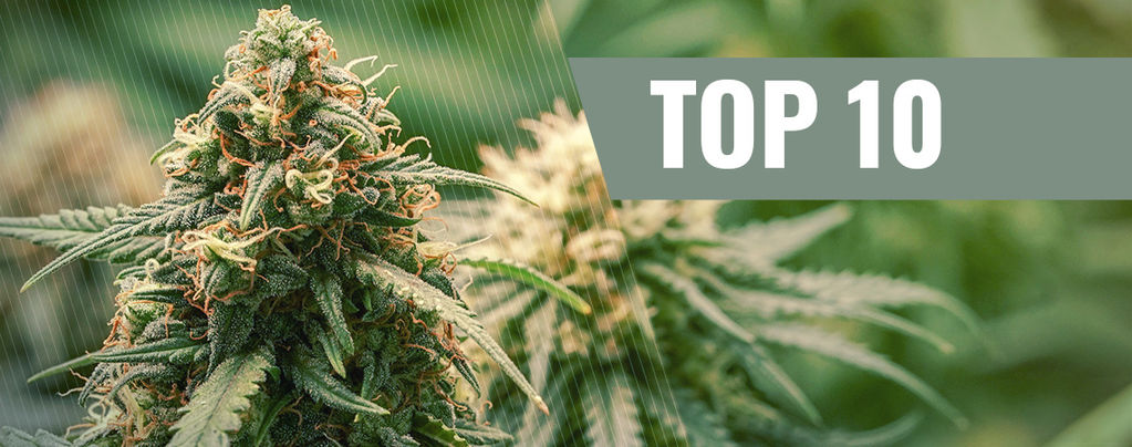 Variétés De Cannabis Haze