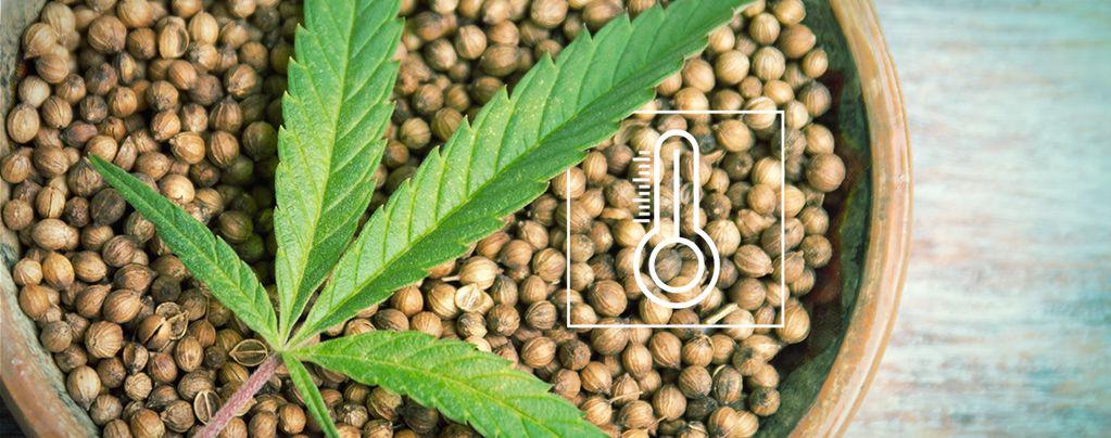 Graines De Cannabis Pour Une Culture En Extérieur
