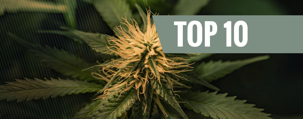 Top 10 Des Variétés De Cannabis Cheese