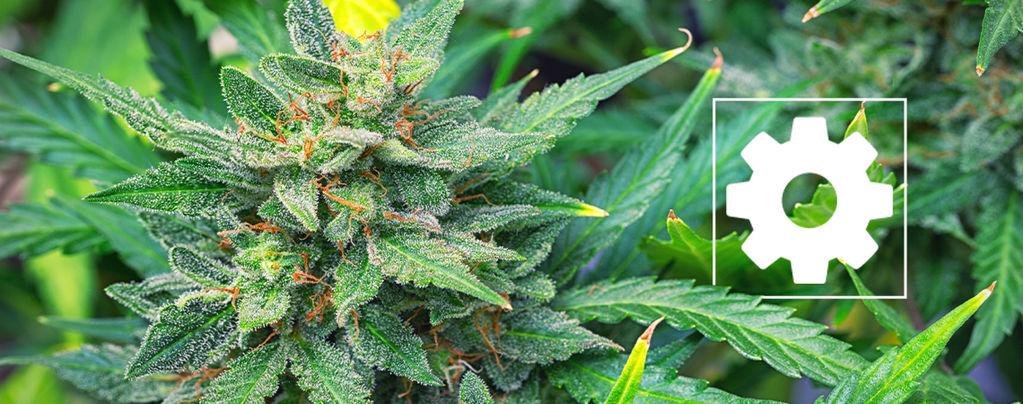 Les Variétés De Cannabis À Autofloraison Sont-Elles Moins Puissantes Que Les Autres ?