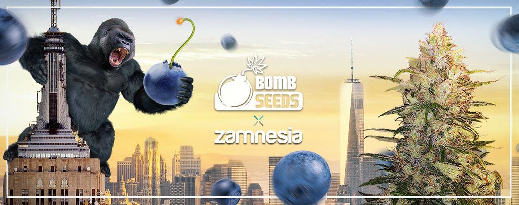 Bomberry Glue Auto (Bomb Seeds x Zamnesia) féminisée