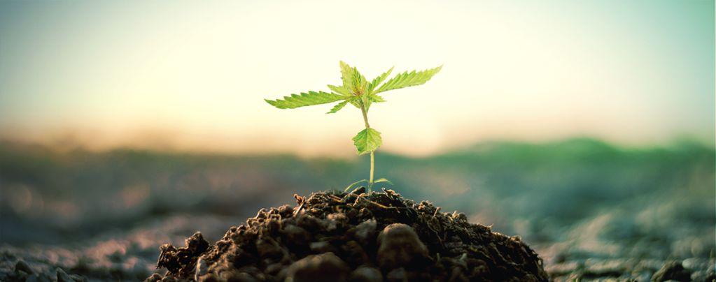 Compost Pour La Culture Du Cannabis