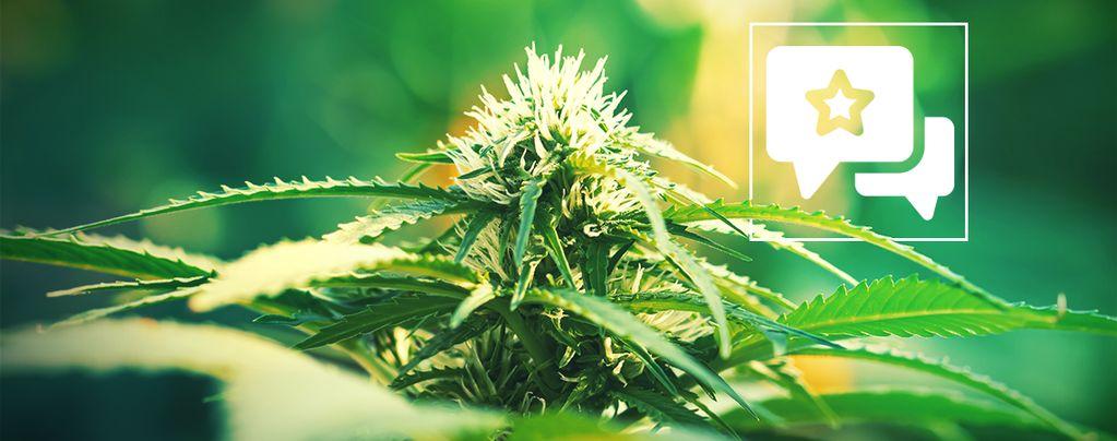 Super Lemon Haze : Évaluation Et Informations De Variété De Cannabis