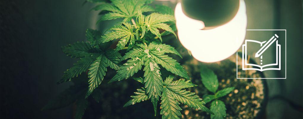 Tout Ce Que Vous Devez Savoir Sur La Micro-Culture Du Cannabis