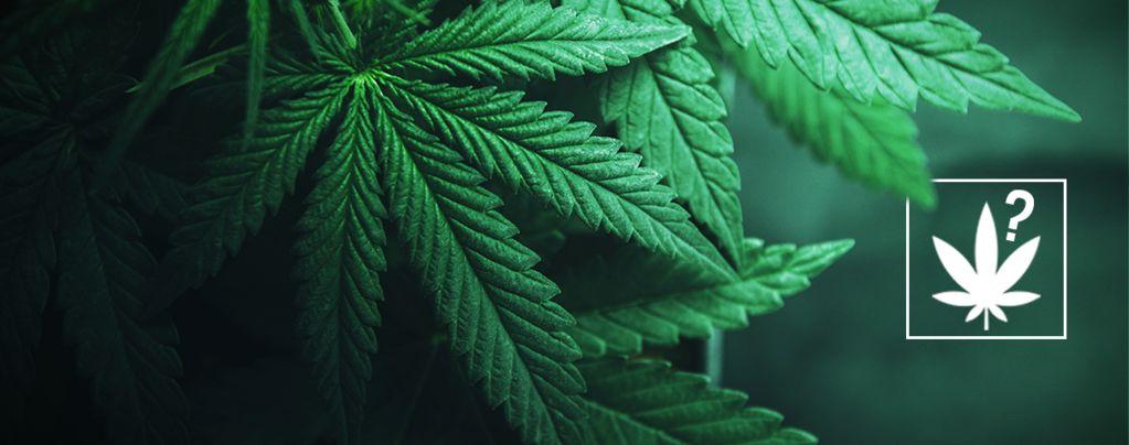 Qu'Est Ce Que Le Cannabis ?