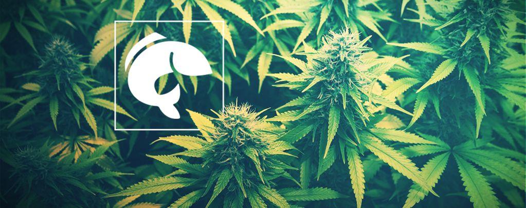 Un Guide De L'emploi De L'aquaponie Pour La Culture Du Cannabis